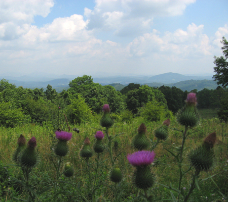 bull-thistles-on-hike-blog.jpg