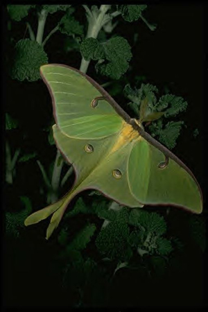 luna-moth-blog.jpg