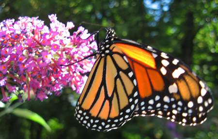 monarch-on-butterfly-bush-blog.jpg