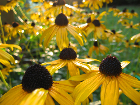 more-susans-in-sun-blog.jpg