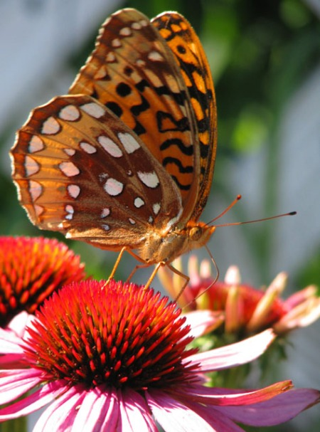 fritillary-on-coneflower-blog