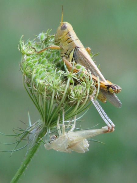 grasshopper-emerges-blog