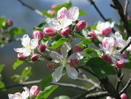 appleblossoms-blog1
