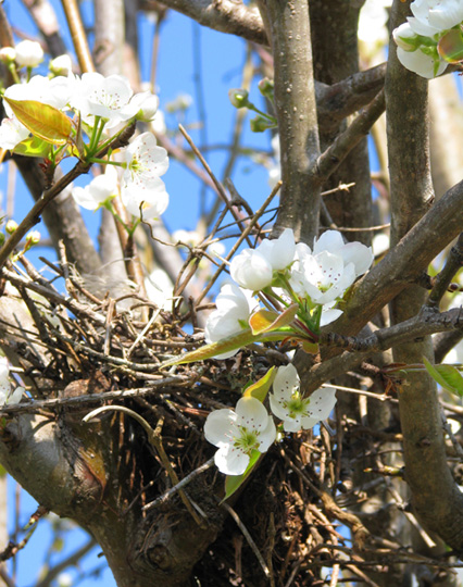 bird-nest-in-pear-tree-blog