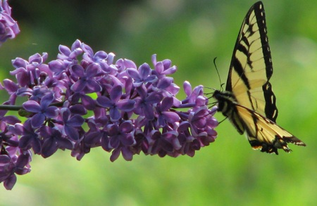 swallowtail-on-lilacs-blog