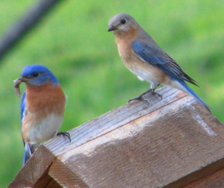 bluebirds-together-blog