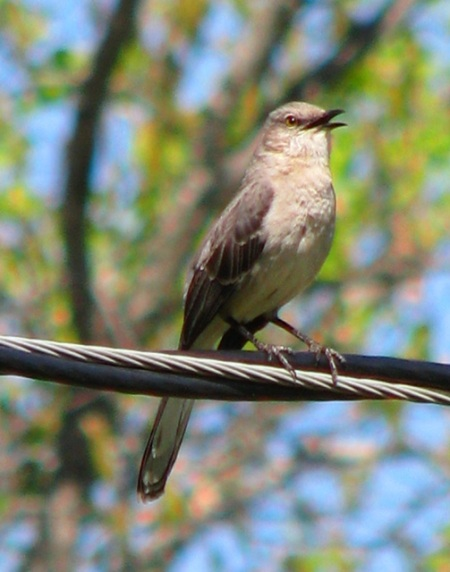 exuberant mockingbird blog