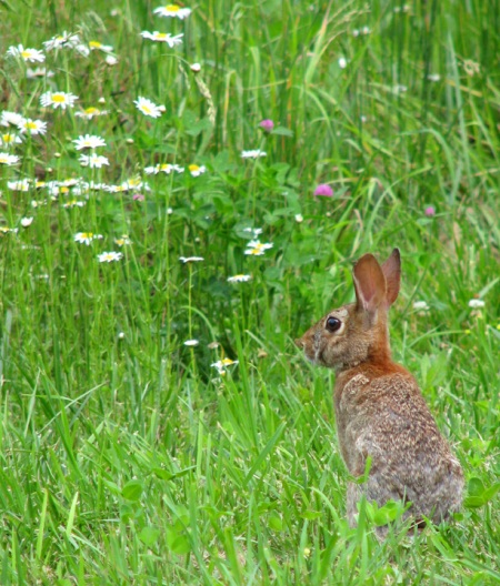 bunny in the meadow blog