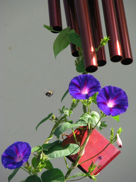 chime morning glory bee blog