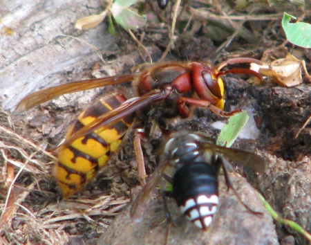 Japanese and bald faced hornets eating sap blog