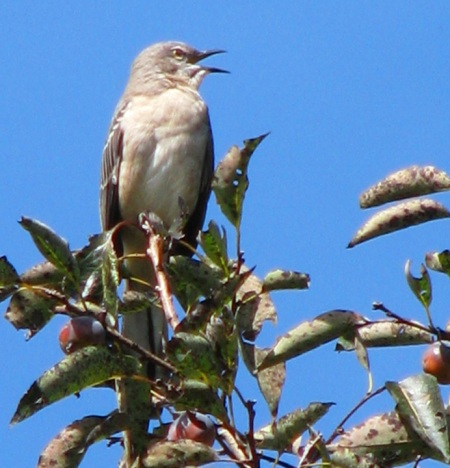 mockingbird in persimmon tree blog