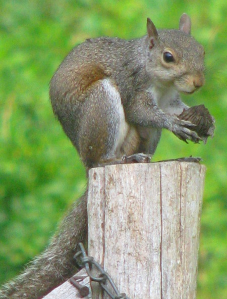 squirrel with big nut blog